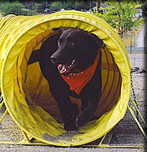 chocolate labrador retriever agility course