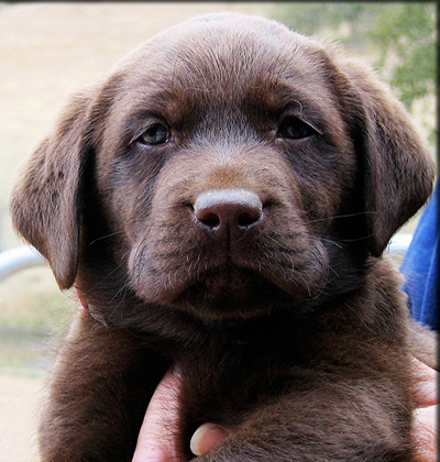 Lab puppies for sale Southern California